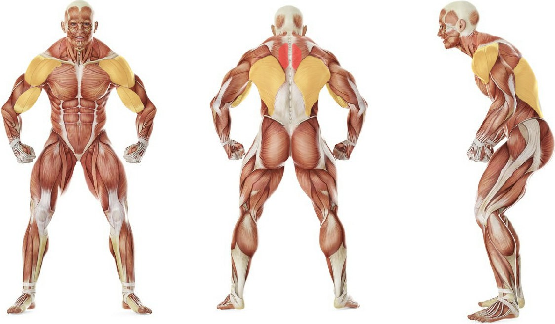 What muscles work in the exercise Bent Over Two-Dumbbell Row