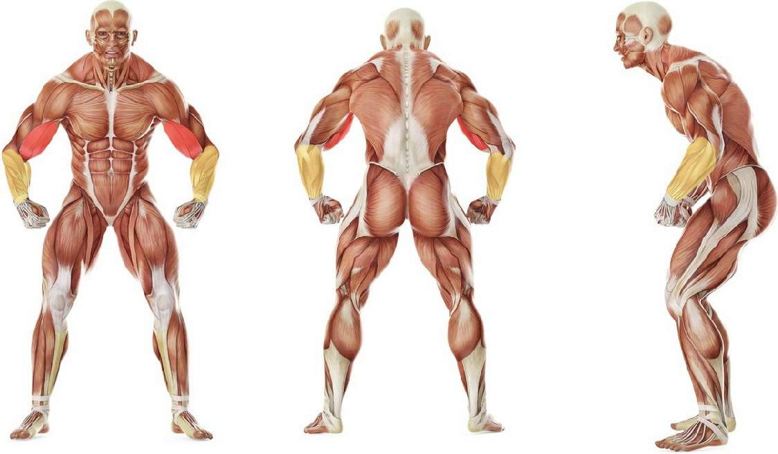 What muscles work in the exercise Concentration Curls